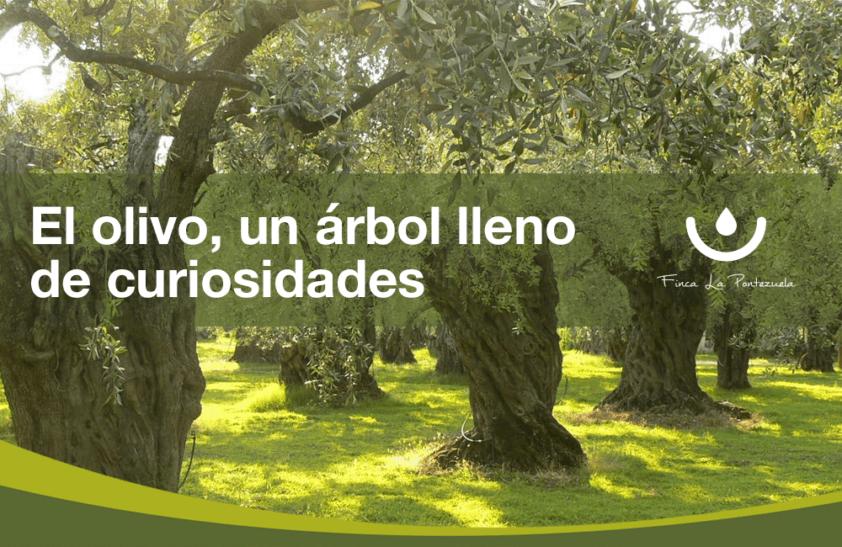 El olivo curiosidades