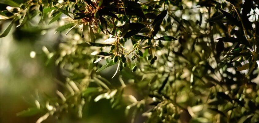 el olivo y su vertiente medicinal