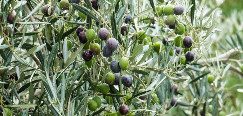 descubre cómo se establece el precio aceite de oliva