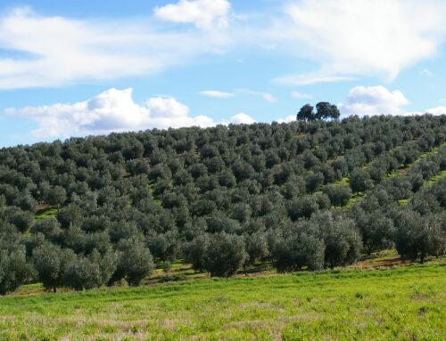 Secretos para el cuidado del olivo